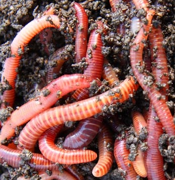 worm farm facts - red worms, Fly Fishing Bait